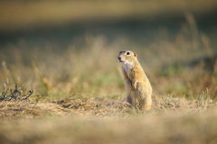 European ground squirrel. Standing on yellow grass ground royalty free stock photos