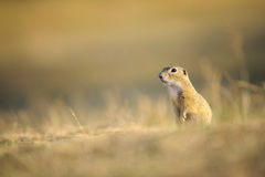 European ground squirrel. Standing on yellow grass ground stock images