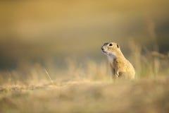 European ground squirrel Stock Images