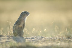 European ground squirrel. Standing on the ground with yellow summer grass royalty free stock images