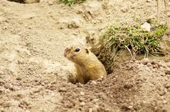 European Ground Squirrel - SYSEL OBECNÝ - Spermophilus citellus. Small European Ground Squirrel digs hole in the ground but only in the Zoo at Hluboka nad stock photo