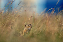 European ground squirrel in yellow grass and blue sky. Upon head stock photo