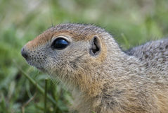 European ground squirrel. The young ground squirrel on a background of green grass royalty free stock photo