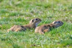 European ground squirrels, Souslik Spermophilus citellus natural environment. Wildlife stock photo