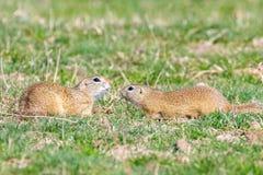 European ground squirrels, Souslik Spermophilus citellus natural environment. Wildlife royalty free stock images