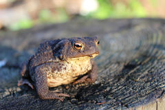 European ground toad Royalty Free Stock Images