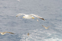 European gull in flight above sea Royalty Free Stock Images