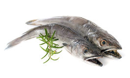 European hake Stock Image