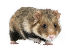 European Hamster against white background Royalty Free Stock Images