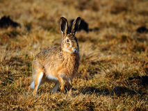 Free European Hare Royalty Free Stock Photography - 13466867