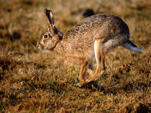 European Hare. Side view of European Hare running in countryside royalty free stock photos