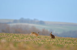 European hare. On the field Royalty Free Stock Images