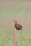 European Hare also known as Brown Hare sat in farm field Royalty Free Stock Photography