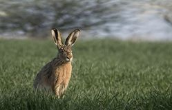 European hare,bunny. Royalty Free Stock Photos