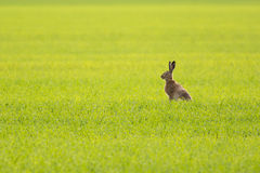 European hare. In the middle of a green meadow Royalty Free Stock Images