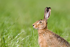 European hare in a field, Jura, France Stock Image