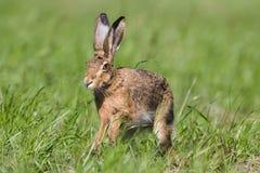 European hare in a field, Jura, France Stock Photo
