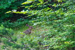 European hare in the forest Royalty Free Stock Image
