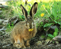 European Hare at Glaciars National Park Stock Images
