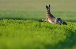 European hare jumping through green field at evening royalty free stock photos