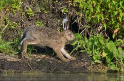 European hare jumping on river shore near water surface royalty free stock photos