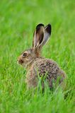 European hare (Lepus europaeus). Also known as the brown hare or eastern jackrabbit stock photos