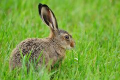 European hare (Lepus europaeus). Also known as the brown hare or eastern jackrabbit royalty free stock photos