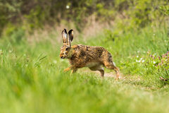 European hare (Lepus europaeus) Royalty Free Stock Photo