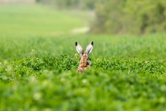 European hare (Lepus europaeus) Royalty Free Stock Image