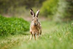 European hare (Lepus europaeus) Stock Photos