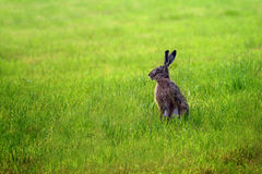European hare Lepus europaeus on a green meadow, because of it Royalty Free Stock Image