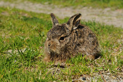European hare (Lepus europaeus) Stock Photography