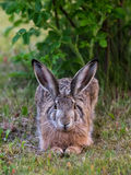 European hare. (Lepus europaeus) lying under a garden rose ready to sprint off on the slightest disturbance Royalty Free Stock Photography