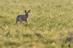 A european hare Lepus europaeus in a meadow backlit by the evening sun royalty free stock image