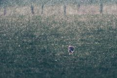 European hare Lepus europaeus running in field during snowstorm. Rear view. Backlit by low sunlight Royalty Free Stock Photos