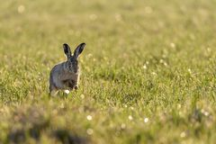 A european hare Lepus europaeus running in a meadow backlit by the evening sun. A european hare Lepus europaeus is running around in a field during early evening stock image