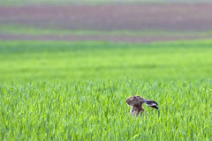 European hare (Lepus europaeus) Royalty Free Stock Images