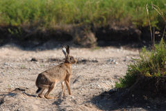 European hare. Wild european hare sitting and looking around Royalty Free Stock Image