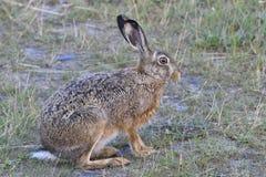 European hare Royalty Free Stock Photos