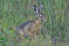 European hare Royalty Free Stock Photo