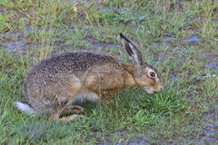European hare Royalty Free Stock Images