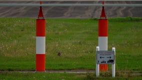 European hare near runway. European hare Lepus europaeus near runway of Dusseldorf airport stock footage