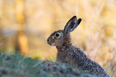 European hare in profile with yellow background Royalty Free Stock Photo