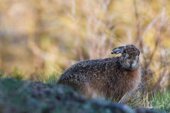 European hare in profile with yellow background Royalty Free Stock Photography
