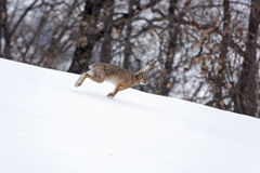 European hare running in the snow. European or brown hare (Lepus europaeus) lightly running in the snow stock photography