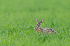 European hare Royalty Free Stock Photos