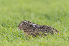 European hare Stock Photos