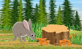European hare sitting near the stump in the forest. Spruce trees and grass, chanterelle mushrooms. stock illustration