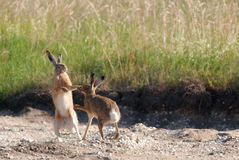 Free European Hares Boxing Royalty Free Stock Image - 30851176
