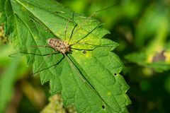 European Harvestman - Phalangium opilio. European Harvestman resting on a leaf waiting to ambush an unwary insect. More commonly known as a daddy Long Legs stock photos